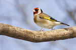 European Goldfinch in mid-February.