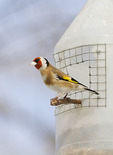 European Goldfinch in mid-February.