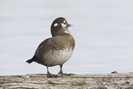 Female Harlequin Duck in late February.