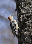 Female Red-bellied Woodpecker in mid-March.