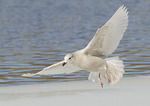 First cycle Iceland Gull landing on ice.