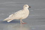 First cycle Iceland Gull standing on ice in mid-February.