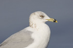 Adult Ring-billed Gull in winter plumage in mid-February.
