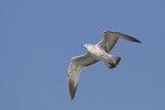 First cycle Ring-billed Gull in flight in mid-February.
