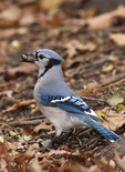 Blue Jay holding a Pin Oak (Quercus palustris) acorn in its bill in early December.