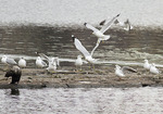 First-cycle Black-headed Gull stretching its wings in late February.