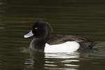 Male Tufted Duck in late February.