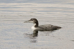 First winter Common Loon in mid-February.