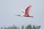 Adult Roseate Spoonbill in flight in early March.