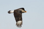 Crested Caracara in flight in early March.