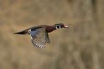 Male Wood Duck in flight in mid-March.