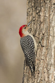 Adult male Red-bellied Woodpecker in mid-March.