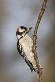 Male Downy Woodpecker in mid-March.