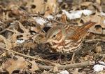 Fox Sparrow in mid-March.