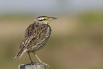 Eastern Meadowlark perched on a fence post in early March.