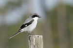 Loggerhead Shrike perched on fence post in early March.