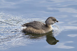 Pied-billed Grebe acquiring breeding plumage in mid-March.