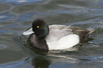 Male Lesser Scaup in mid-March.