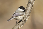 Black-capped Chickadee in mid-March.