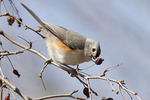 Tufted Titmouse eating a dried crab apple in mid-March.
