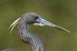 Close-up of adult Tricolored Heron in breeding plumage in mid-March.