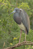 Adult Tricolored Heron in breeding plumage in mid-March.