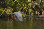 Adult Tricolored Heron in flight in mid-March. Kissimmee, Florida.