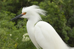 Snowy Egret in breeding plumage mid-March.