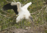 Wood Stork at nest in mid-March.