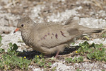 Female Common Ground-Dove in early March.