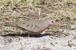 Male Common Ground-Dove in early March.