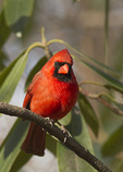 Male Northern Cardinal in Rhododendron in late March.