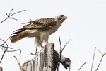 Adult Red-tailed Hawk in late March with a pigeon it has captured.
