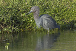 Adult Little Blue Heron foraging at the edge of a pond in late February.