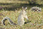 Sherman's Fox Squirrel in early March.