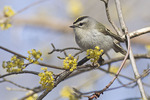 Male Golden-crowned Kinglet perched in blooming Cornelian Cherry (Cornus mas) in early April on spring migration.