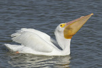 American White Pelican in early March.