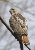 Adult male Red-tailed Hawk in early April.