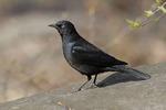Male Rusty Blackbird in early April.