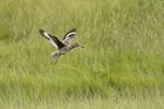 Eastern Willet in flight in salt marsh.