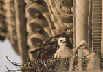 Adult female Red-tailed Hawk at nest with young on Fifth Avenue in mid-May. New York, NY.