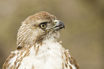 Close-up of immature Red-tailed Hawk in mid-April.