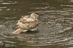 Immature Red-tailed Hawk bathing.