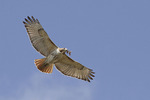 Red-tailed Hawk carrying nesting material in mid-April.