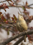 Carolina Wren singing in crab apple mid-April.