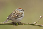 Chipping Sparrow in mid-April on spring migration.