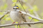 White-throated Sparrow, black-and-white morph, in mid-April on spring migration.