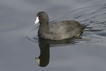 American Coot and reflection in mid-April.