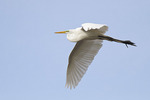 Great Egret in breeding plumage in flight in mid-April.