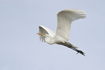 Great Egret in breeding plumage in flight in mid-April.